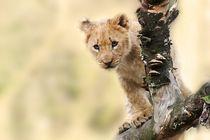 Löwen Baby von sigursson