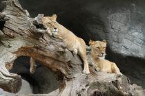 Löwinnen beim Faulenzen von sigursson