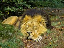 Löwe macht ein nickerchen von sigursson