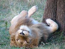 Löwe will gestreichelt werden by sigursson