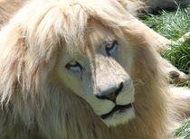 Löwe weiß gefärbt von sigursson