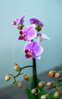 Portrait of an orchid by Marina Dvinskykh