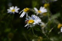 Käfer auf dem Gänseblümchen by Jörg Boeck