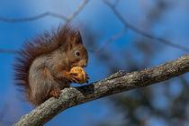 'Squirrel with nut' von Frank Tschöpe