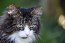 Portrait of a cat by Frank Tschöpe