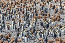 Penguins in South Georgia von Frank Tschöpe