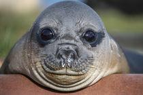 Cute, little seal in South Georgia by Frank Tschöpe
