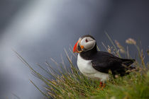 Puffin in Iceland by Frank Tschöpe