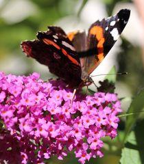 """""""Pfauenauge auf Schmetterlingsblüten"""" 2 von Simone Marsig"""