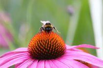 Hummel auf Echinacea Blume von Simone Marsig