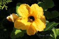 Hummel mit Besuch in gelber Kürbisblüte by Simone Marsig