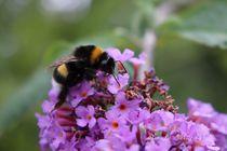 Hummel auf Schmetterlingsflieder von Simone Marsig