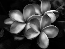 B/W Plumeria Flowers by Amber D Hathaway Photography