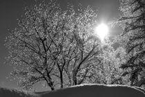 Schneeblüte by heiko13