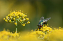 Fliege-2 by Eckart  Mayer