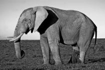 Elephant Bull by Herman Stadler