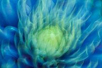 Clematis-blau-3377
