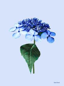 Delicate Blue Lacecap Hydrangea von Susan Savad