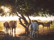Pferde im Abendlicht von Franziska Mohr