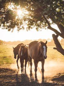 Pferde im Gegenlicht von Franziska Mohr