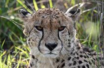 Cheetah Portrait by Luis Henrique de Moraes Boucault