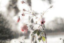Ice Rose von fraenks