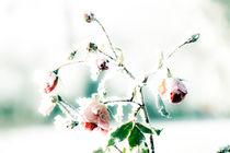Eisrose by fraenks