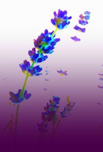 Lavender von M. Ziehr