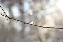 Snow in the Sun by aseifert