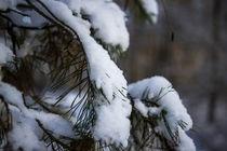 Zweige befreien sich vom Schnee von aseifert