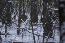 Wildschwein im Schnee von aseifert