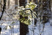 Schneefall auf Zweige by aseifert