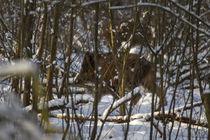 Wildschwein (WILD BOAR)  im Schnee by aseifert