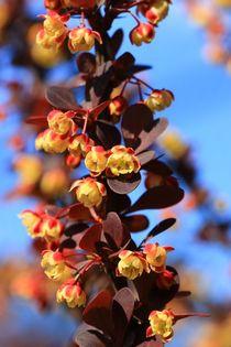 Berberitzenblüten von Bernhard Kaiser