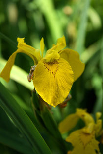 Iris pseudacorus | Gelbe Sumpf-Schwertlilie von lizcollet