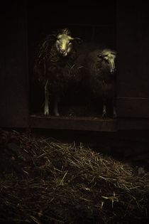 SHEEP by © Ivonne Wentzler