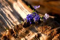 Gefällter Baum mit Traubenhyazinthe | Resilienz von lizcollet