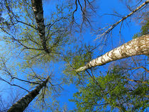 Birch trees on the background of the spring sky - view from below by Vladislav Romensky