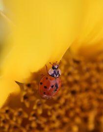 Marienkäfer auf Sonnenblume 3. von Simone Marsig