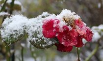 Rose im Winter by Simone Marsig