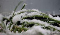 Schnittlauch im Eis und Schnee von Simone Marsig