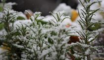 """""""Rosmarin schneebedeckt"""" von Simone Marsig"""