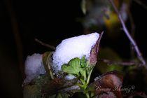 Schnee auf Blattwerk schon vereist von Simone Marsig
