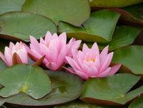 verträumte Seerosen in rosa von Simone Marsig