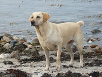 Golden Retriever am Strand von Simone Marsig