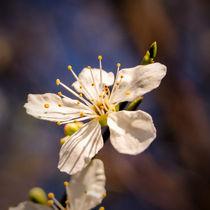 Sq-dot-blossom