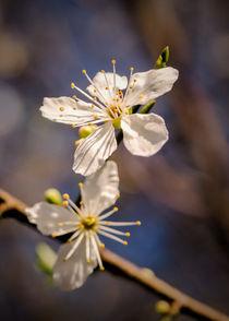 Blossom's von Jeremy Sage