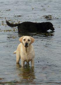 Golden Retriever in der Ostsee 3. von Simone Marsig