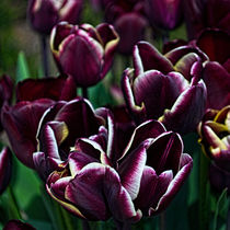 'Purple Tulips' by Colin Metcalf