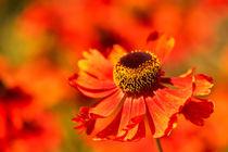 rote Blüten by Barbara  Keichel